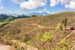 Plantación de café en las montañas de Honduras fotos de archivo