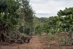 Plantación de café en Vietnam fotografía de archivo