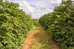 Plantación de café en Zambia imagenes de archivo