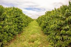 Plantación de café en Zambia foto de archivo
