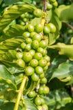 Plantación de café en Zambia fotos de archivo
