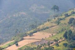 Plantación de café Guatemala Imagen de archivo