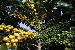 Plantación de café de la granja en el Brasil imagen de archivo libre de regalías