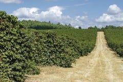 Plantación de café de la granja en el Brasil fotografía de archivo libre de regalías
