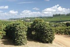 Plantación de café de la granja en el Brasil foto de archivo libre de regalías