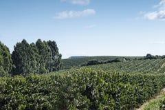Plantación de café de la granja en el Brasil fotografía de archivo
