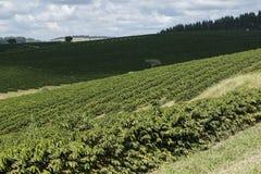 Plantación de café de la granja en el Brasil fotos de archivo