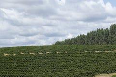 Plantación de café de la granja en el Brasil imagenes de archivo