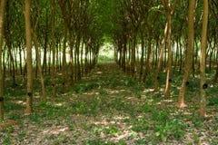 Plantación de Forest Lane Through Rubber Tree que encanta imágenes de archivo libres de regalías