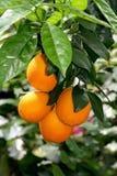 Plantación de frutas cítricas. Imagenes de archivo
