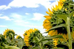 Sunflower with sky and clouds background royalty free stock image