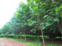 Plantación de goma Foto de archivo libre de regalías