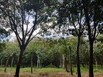Plantación de goma en Camboya imagen de archivo libre de regalías