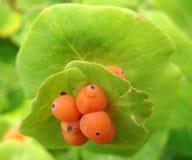 Plantación de la baya Foto de archivo libre de regalías
