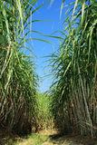 Plantación de la caña de azúcar Imagenes de archivo