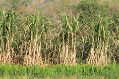Plantación de la caña de azúcar Fotografía de archivo
