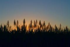 Plantación de la caña de azúcar Foto de archivo