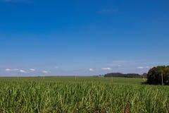 Plantación de la caña de azúcar Imagen de archivo libre de regalías