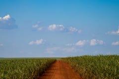 Plantación de la caña de azúcar Imagen de archivo