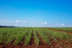 Plantación de la caña de azúcar Foto de archivo libre de regalías