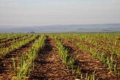 Plantación de la caña de azúcar Fotografía de archivo libre de regalías