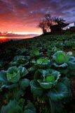 Plantación de la col en el crepúsculo Foto de archivo libre de regalías