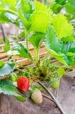 Plantación de la fresa Imagen de archivo libre de regalías