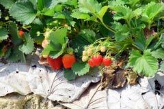 Plantación de la fresa Foto de archivo