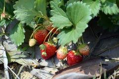 Plantación de la fresa Foto de archivo libre de regalías
