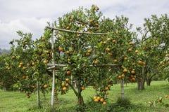 Plantación de la fruta cítrica Fotografía de archivo