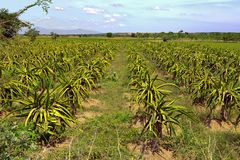 Plantación de la fruta del dragón en Vietnam imagen de archivo libre de regalías