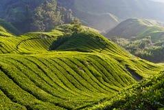 Plantación de la granja del té en la montaña Malasia de Cameron Fotografía de archivo libre de regalías