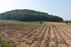 Plantación de la mandioca. Imágenes de archivo libres de regalías
