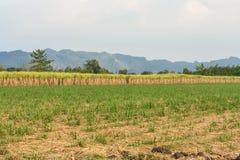 Plantación de la mandioca. Imagenes de archivo