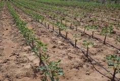 Plantación de la mandioca con la irrigación por goteo fotografía de archivo libre de regalías