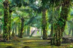 Plantación de la palma de aceite Fotografía de archivo libre de regalías