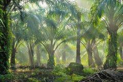 Plantación de la palma de aceite Imagen de archivo