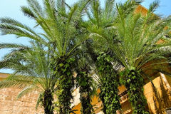 Plantación de la palma de aceite Foto de archivo libre de regalías