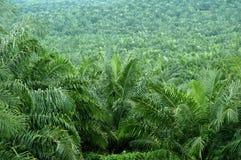 Plantación de la palma de petróleo Fotos de archivo