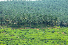 Plantación de la palma de petróleo Foto de archivo