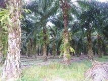 Plantación de la palmera del aceite Fotos de archivo
