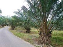 Plantación de la palmera del aceite Fotografía de archivo