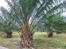 Plantación de la palmera del aceite Imagen de archivo libre de regalías