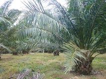 Plantación de la palmera del aceite Imagen de archivo