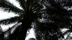 Plantación de la palmera para el azúcar almacen de video