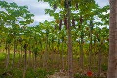 Plantación de la papaya Fotografía de archivo