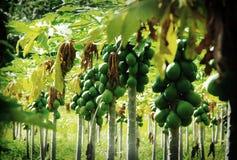 Plantación de la papaya foto de archivo libre de regalías