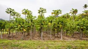 Plantación de la papaya, Rarotonga, cocinero Islands, Océano Pacífico Fotos de archivo