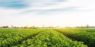 Plantaci?n de la patata crecer en el campo filas vegetales Cultivo, agricultura Paisaje con la regi?n agr?cola Org?nico fresco fotografía de archivo libre de regalías