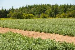 Plantación de la patata - príncipe Edward Island - Canadá foto de archivo